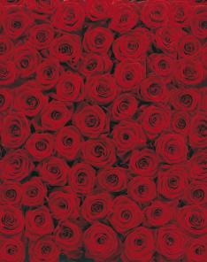 Fototapeta - Růže